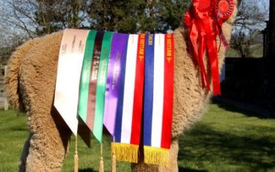 Yorkshire Alpaca Halter Show Results