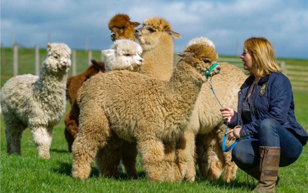 Beacon Alpacas