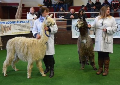 yorkshire-alpaca-group-show-2018 (1)