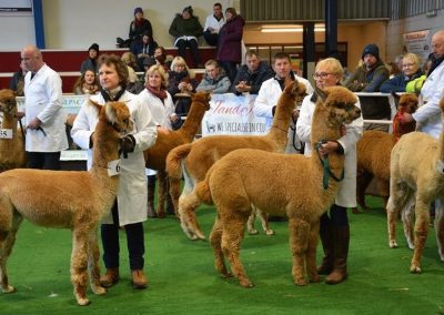 yorkshire-alpaca-group-show-2018 (3)