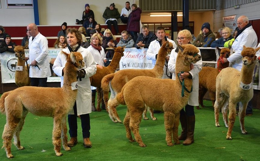Yorkshire Alpaca Group Show 2020
