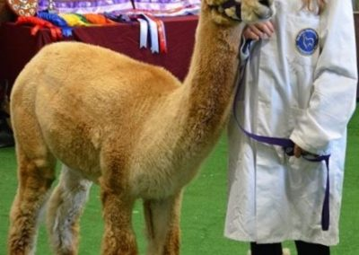 yorkshire-alpaca-group-show-2018 (6)